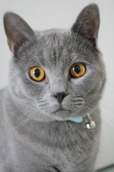 #Chartreux Cute hades on yummypets.com Discover other photos here => http://www.yummypets.com/pic/2223674 - #cat #animal #pet #chat #cute