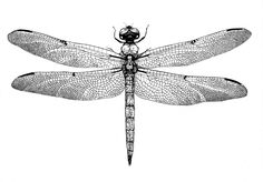 Dragonfly drawing pen and ink drawing Insect print ink drawing dragonfly linework dotwork ink minimalism minimalistic wall art fine art fine arts print drawn libellula vibrans study study filigree detail nature insects rnrnSource by soulviewphoto Dragonfly Drawing, Dragonfly Art, Dragonfly Tattoo, Tattoo Dotwork, 1 Tattoo, Leonardo Da Vinci Zeichnungen, Illustration Tattoo, Dragonfly Illustration, Dog Pen