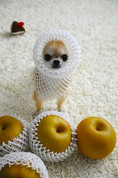 Chihuahua fruit....because what else would you do with a tiny dog besides put fruit wrappers on it? Lol