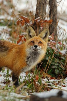 Red Fox in Snow by Peter Eades*
