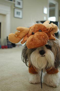 a moose is loose!