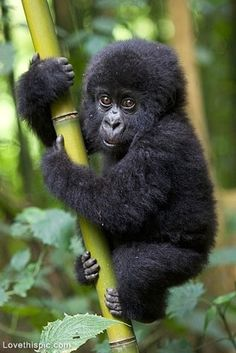 Gorilla Baby cute animals baby wildlife gorilla monkey jungle   ...........click here to find out more     http://googydog.com Love #cute #animal / #animals, follow @cutephonecases