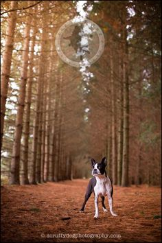 waterloo pet photographer dog photography boston terrier - indy packham-389