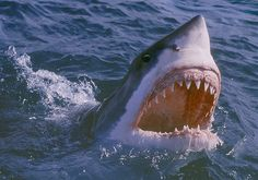 My what big teeth you have! A close-up of a great white shark mouth open at the water's surface. (© Design Pics Inc/Rex Features)