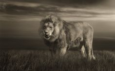 Photo The LION-KING showing teeth par Fotostyle_Schindler on 500px