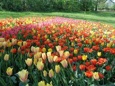 I tulipani del Castello di Pralormo https://lefotodiluisella.blogspot.it/2017/04/tulipani-pralormo-messer-tulipano.html