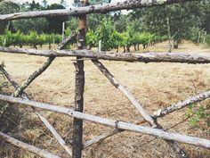 Vineyards in Fiais da Beira.