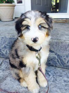 Aussiedoodle <3 (Australian Shepherd and Poodle Mix)