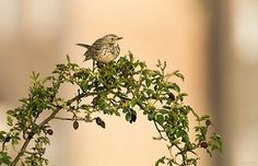 Meadow Pipit, Biggleswade, 17th May 2015 | von Steve Blain