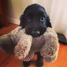 cute as dog can i take it, Perro Cocker Spaniel, Black Cocker Spaniel, English Cocker Spaniel, Animals And Pets, Cute Animals, Working Cocker, Cockerspaniel, Cute Funny Dogs, Hound Dog