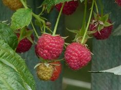 SPECIAL DEAL - Usually each, today just for THREE - Save Raspberry Groovy is a fantastic new concept for growing Raspberries (Rubus idaeus) on the patio or in the garden when you have limited space. Edible Plants, All Plants, Garden Plants, Fruit And Veg, Fruits And Veggies, Growing Raspberries, Raspberry Plants, Veg Patch, Garden Works