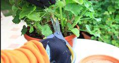 Cum păstrăm corect mușcatele peste iarnă pentru o înflorire superbă. Sfaturi esențiale de la grădinari profesioniști Herbs, Marvel, Plant, Herb, Medicinal Plants