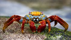 Not exactly submerged, but in pretty cool, Sally Lightfoot Crab from the Galapagos Islands