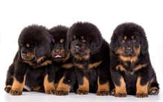 Download wallpapers Tibetan Mastiff, 4k, puppies, dogs, family, Canis lupus familiaris, cute animals, pets