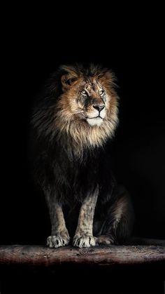 Lion Images, Lion Pictures, Beautiful Creatures, Animals Beautiful, Aslan Narnia, Watercolor Lion Tattoo, Lion Photography, Giant Animals, Top Imagem
