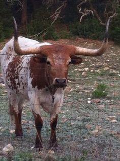 Beautiful Texas Longhorn...WANT IT! Lillian needs a friend