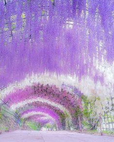 Kawachi Wisteria Garden #Japan #Fukuoka #Spring #Flower #Purple #Travel Tourist Attraction #Sightseeing Spots, Superb Views #Destination #Wisteria #SuperbView