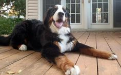 "Ricola the Bernese Mountain Dog: Hi there! My name is Ricola (like the cough drops). My family got me when I was two months old and I've been part of the family since. I love playing with my toys. My parents say that I ""pogo"" when I get excited, which is often! I love sitting on feet and having my head on people's laps, but the best is belly rubs. My big tail gets in the way sometimes but my family thinks it's cute, except when it knocks things over!"