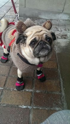 Pug vestido para o inverno.