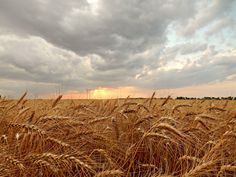 sunset over wheat field - Pesquisa Google