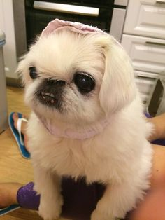 Chaibe the Pekingese
