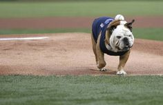 You might not have a major league baseball team in your area but animals in general could be good candidates for a Pinterest board. This is from @The Dallas Morning News | Rounding the bases at Rangers Ballpark