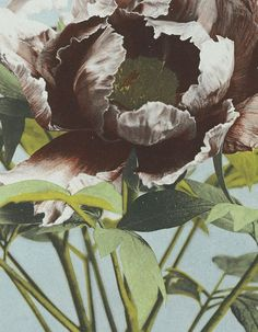 """Tree Peony"": Collotype photograph (detail) from the album of photographs entitled Japanese Flowers vol.2 by Ogawa Kazuma, Japan, late 19th century"