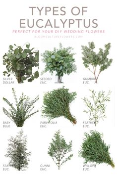 Bloom Culture Flowers breaks down the Types of Eucalyptus to use for your DIY Wedding Flowers . Photos by various sources, credits on blog.