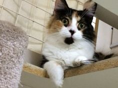 Melody the Calico waiting fur you to take home!