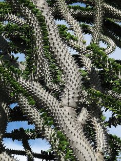 Alluaudia procera    Madagascar ocotillo in the succulent garden at Kapi`olani Community College, Honolulu, Hawaii.