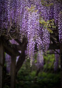 Wisteria! This is part of my childhood :)