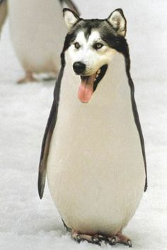 Welcome to the Internet. We have Penguskies. Don't bother questioning it.