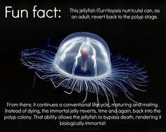 Turritopsis nutricula: the immortal jellyfish. My favorite marine creature.