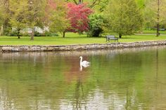 A single swan is simply swimming serenely in a stretch of crisp clear spring water; so I spend the day smiling. ~ photos =>> www.dorymaguirephotography.com follow =>> https://www.instagram.com/dorymaguire