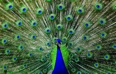 peacock feathers Wanderlust with UD @UrbanDecay @Peek.com Contest Entry