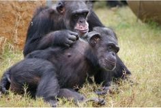 Sex triggers oxytocin, a brain chemical that makes you feel safe, but shortly after you'll feel unsafe again. You can trigger oxytocin in new ways if you know how your brain works. Half Brother, Letting Go Of Him, Chimpanzee, Our World, Animals Beautiful, Animal Pictures, Trust, Psychology Today, Animal Welfare