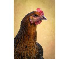 Chicken photography, Bird print, Hen wall art, Farm animal photography, Fine art print, Farmyard art wall decor, Kitchen decor by KataniaDesigns on Etsy https://www.etsy.com/uk/listing/479602757/chicken-photography-bird-print-hen-wall
