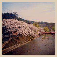 Cherry blossoms TAKAYAMA,JAPAN