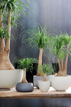 Ponytail Palm or elephant foot plant, best indoor plantings. Easy to care for.