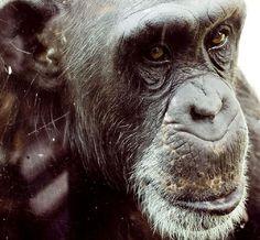 xanimalextremeclose-up-chimp.jpg.pagespeed.ic.AwfFR5-Ihn.jpg (950×880)