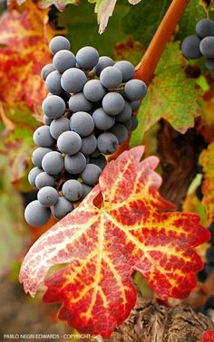 Award Winning Chilean Cabernet Sauvignon: Reds and Yellows Announce Autumn in Chile | Photography: Pablo Negri Edwards - Copyright ©