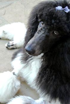 """Grooming makes me sleepy"" <3  {Miss Myla/Wagologie} #dogs #standard #poodles"