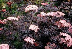 Sureau noir à feuilles fines pointues en rouge foncé peu exigeant