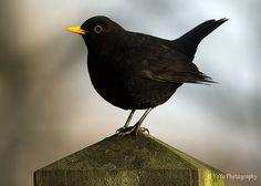 Blackbird - Merle