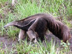 When Giant Anteaters eat, their tongue shoots out 150 times every minute -- allowing them to easily finish off 30,000 insects in a day.