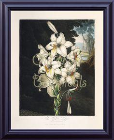 Thornton Botanical Print 11x14 Vintage Antique by OldAgeBotanicals