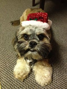 Merry Christmas from my cock-a-tzu!