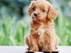 naww what a cutie (cavoodle/cavapoo)