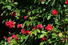 Flammentanz – ruusu   Vesan viherpiperryskuvat – puutarha kukkii