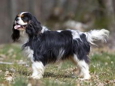 cavalier king charl | Autre(s) nom(s) Epagneul Cavalier King Charles, English Toy Spaniel